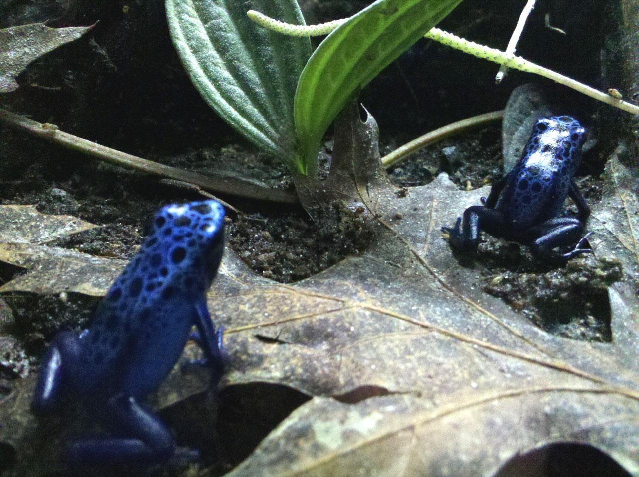 Da Frogs